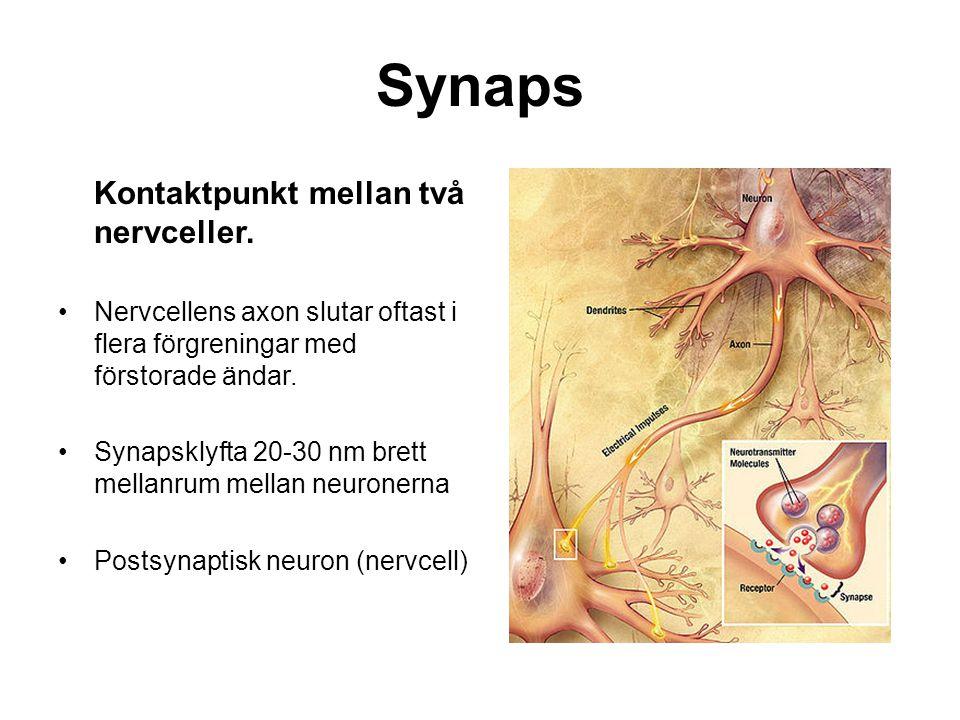 Synaps Kontaktpunkt mellan två nervceller. Nervcellens axon slutar oftast i flera förgreningar med förstorade ändar. Synapsklyfta 20-30 nm brett mella