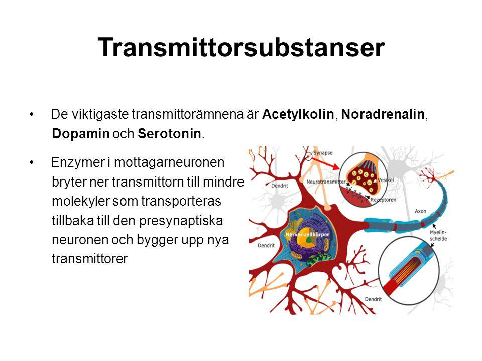 Transmittorsubstanser De viktigaste transmittorämnena är Acetylkolin, Noradrenalin, Dopamin och Serotonin. Enzymer i mottagarneuronen bryter ner trans