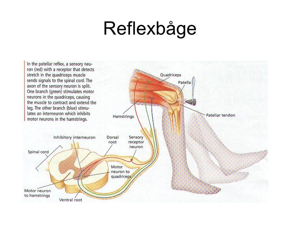 Reflexbåge
