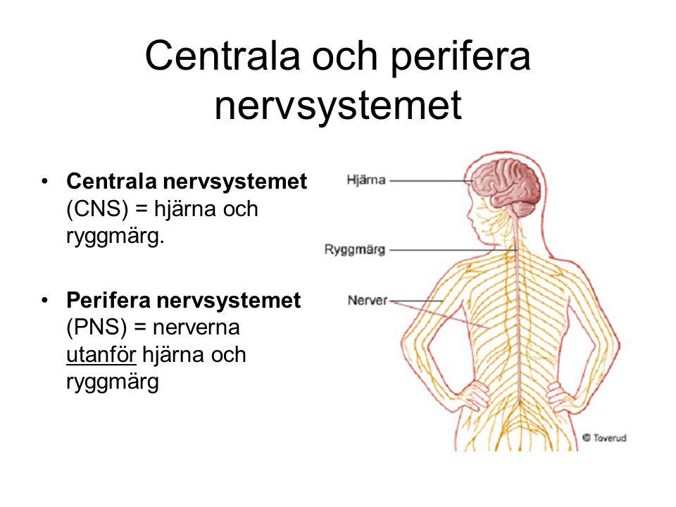 Centrala och perifera nervsystemet Centrala nervsystemet (CNS) = hjärna och ryggmärg. Perifera nervsystemet (PNS) = nerverna utanför hjärna och ryggmä