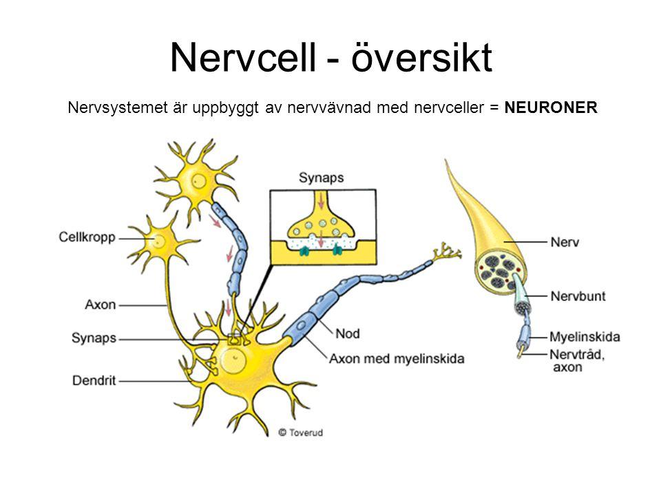 Nervcell - översikt Nervsystemet är uppbyggt av nervvävnad med nervceller = NEURONER