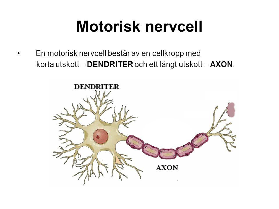 Motorisk nervcell En motorisk nervcell består av en cellkropp med korta utskott – DENDRITER och ett långt utskott – AXON.