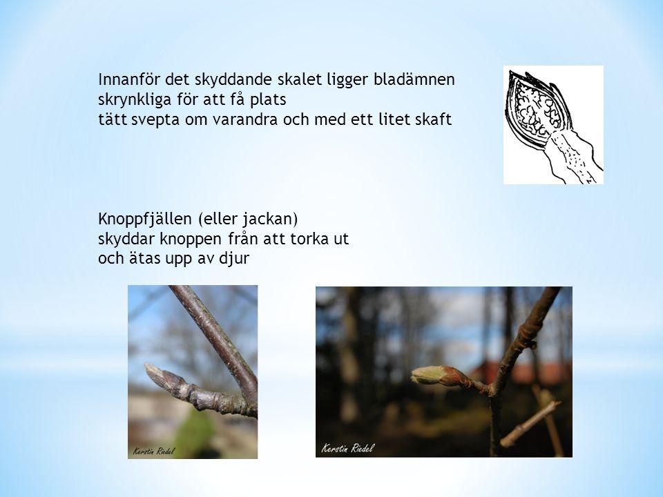 Innanför det skyddande skalet ligger bladämnen skrynkliga för att få plats tätt svepta om varandra och med ett litet skaft Knoppfjällen (eller jackan)