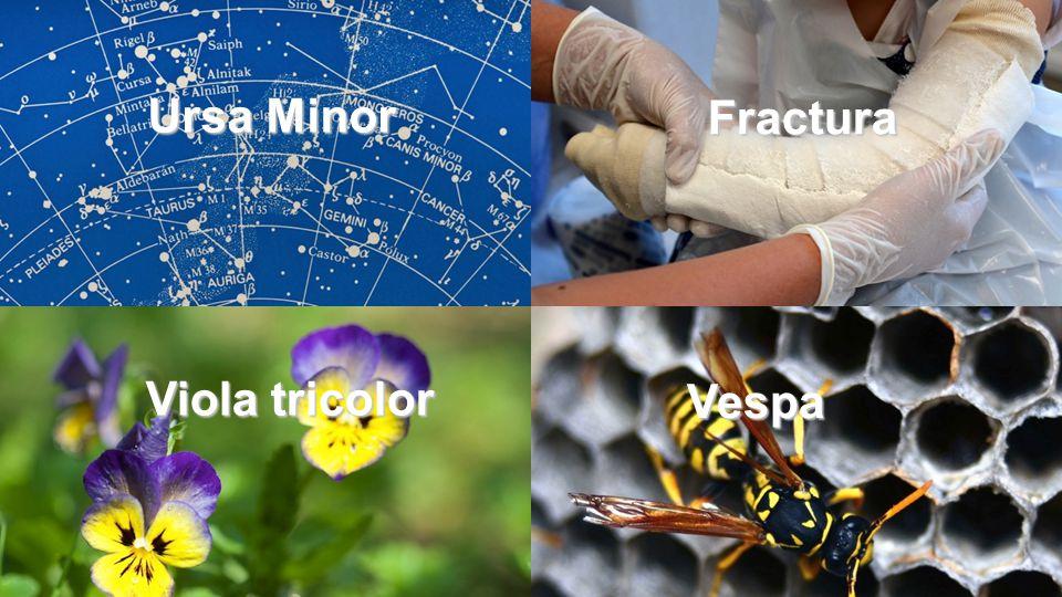 Ursa Minor Fractura Viola tricolor Vespa