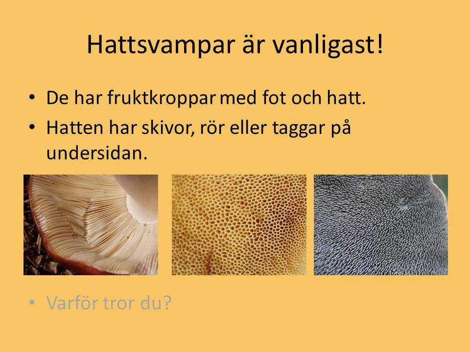 Hattsvampar är vanligast! De har fruktkroppar med fot och hatt. Hatten har skivor, rör eller taggar på undersidan. Varför tror du?