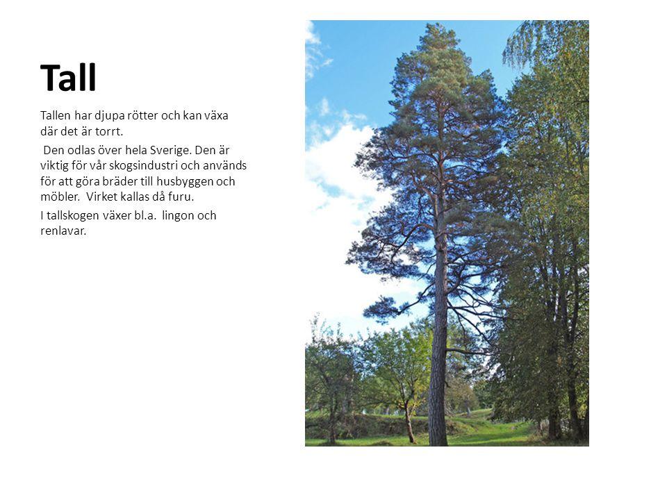 Tall Tallen har djupa rötter och kan växa där det är torrt. Den odlas över hela Sverige. Den är viktig för vår skogsindustri och används för att göra