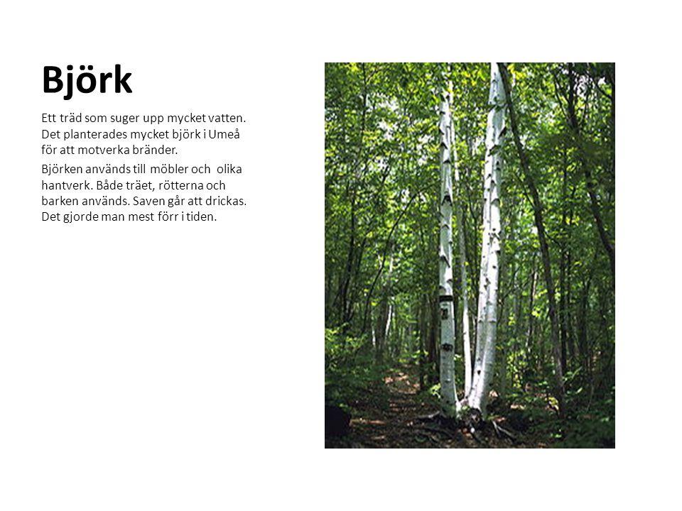 Björk Ett träd som suger upp mycket vatten. Det planterades mycket björk i Umeå för att motverka bränder. Björken används till möbler och olika hantve