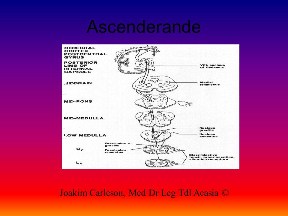 Ascenderande Joakim Carleson, Med Dr Leg Tdl Acasia ©