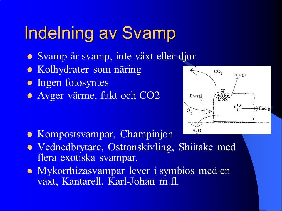 Indelning av Svamp Svamp är svamp, inte växt eller djur Kolhydrater som näring Ingen fotosyntes Avger värme, fukt och CO2 Kompostsvampar, Champinjon V
