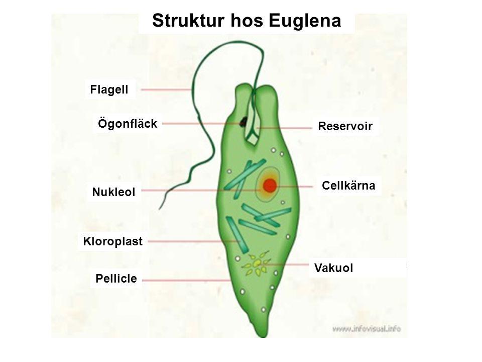 Euglenoider Phylum Euglenophyta Phylum Euglenophyta – Finns i sötvatten För det mesta encelliga med 1-3 gissel