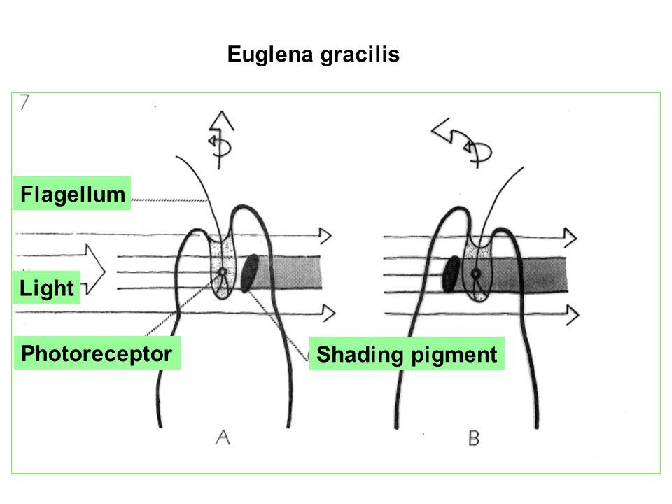 Photoreceptor Euglena gracilis Shading pigment Photoreceptor
