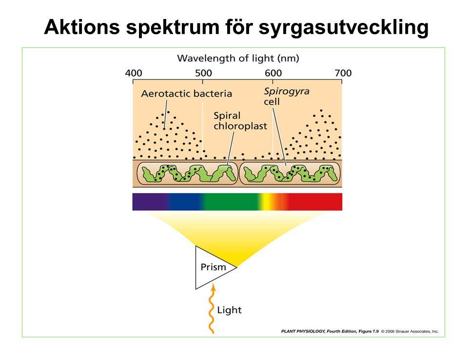 Kloroplast rörelse