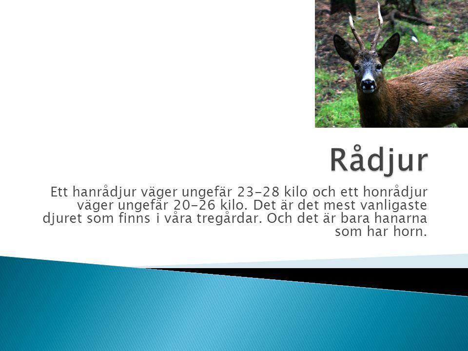 Ett hanrådjur väger ungefär 23-28 kilo och ett honrådjur väger ungefär 20-26 kilo. Det är det mest vanligaste djuret som finns i våra tregårdar. Och d