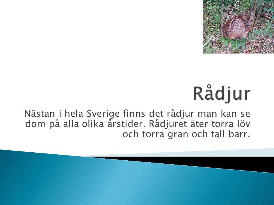 Nästan i hela Sverige finns det rådjur man kan se dom på alla olika årstider. Rådjuret äter torra löv och torra gran och tall barr.