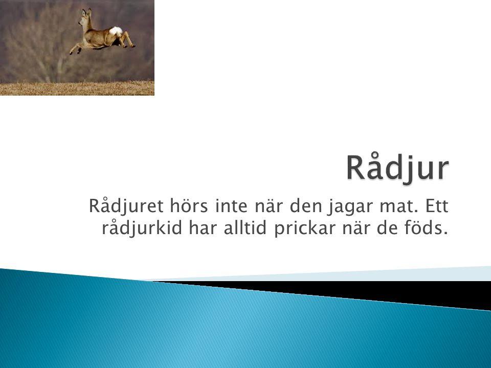 Rådjuret hörs inte när den jagar mat. Ett rådjurkid har alltid prickar när de föds.