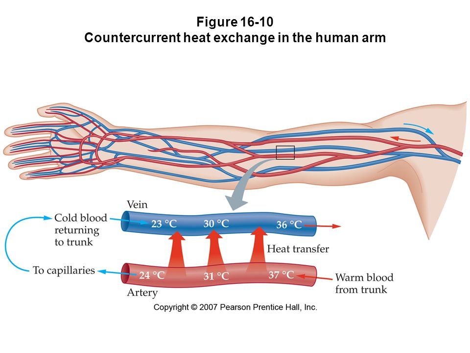Figure 16-10 Countercurrent heat exchange in the human arm