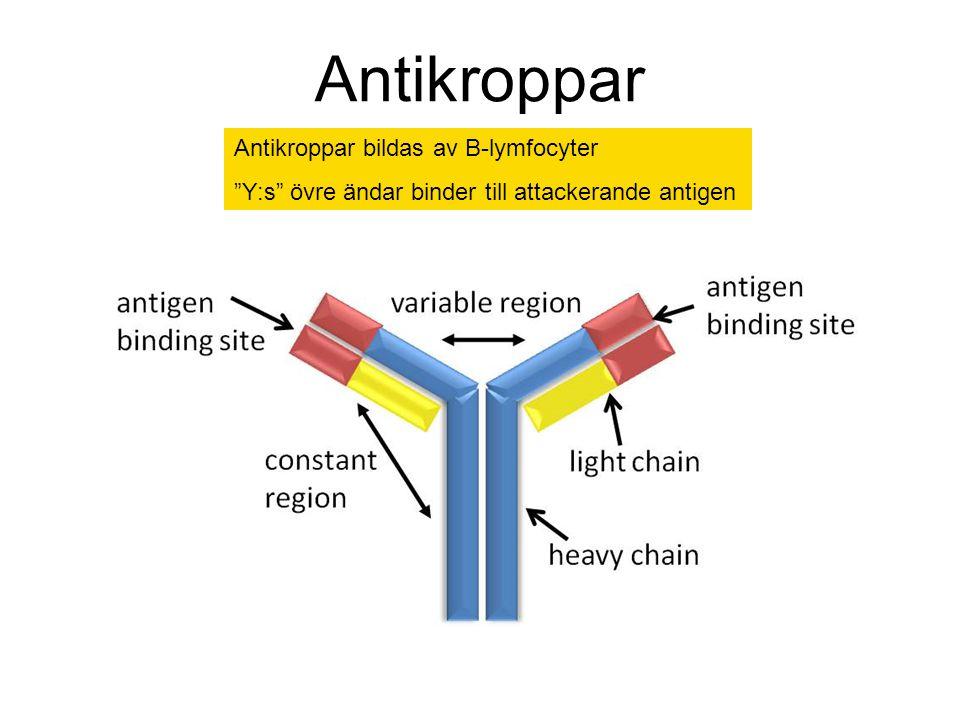 """Antikroppar Antikroppar bildas av B-lymfocyter """"Y:s"""" övre ändar binder till attackerande antigen"""