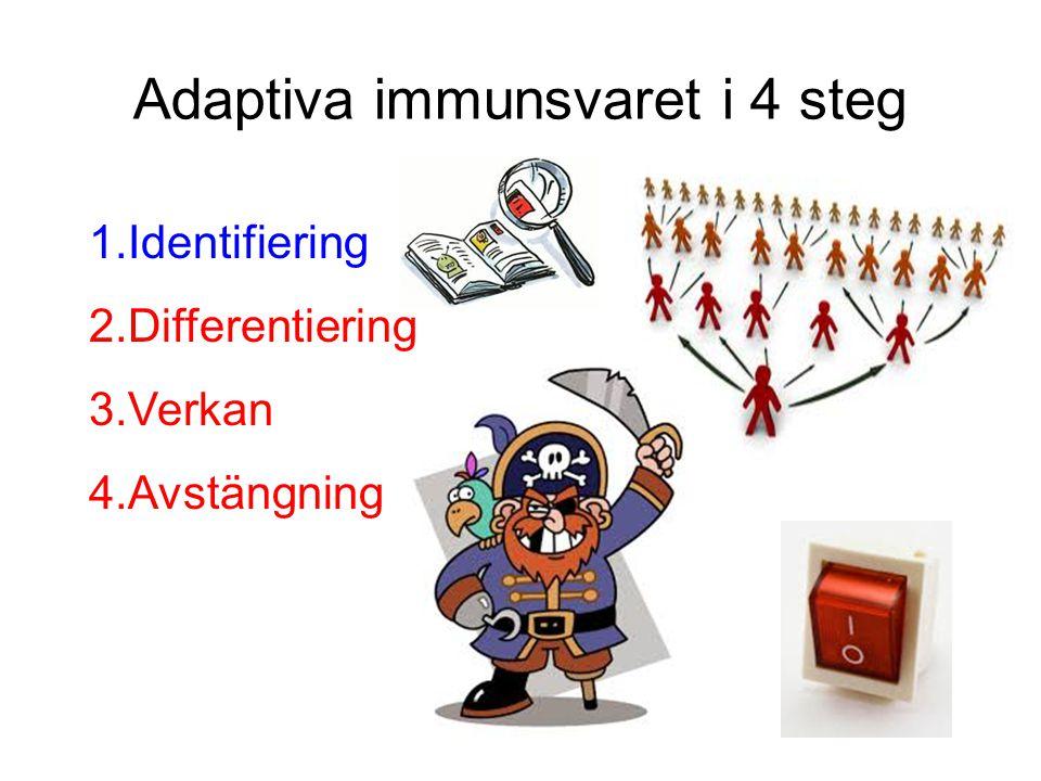 Adaptiva immunsvaret i 4 steg 1.Identifiering 2.Differentiering 3.Verkan 4.Avstängning