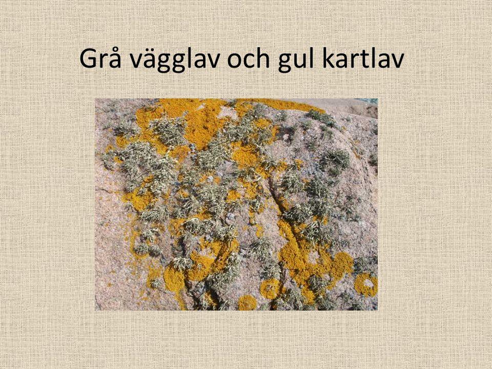 Grå vägglav och gul kartlav