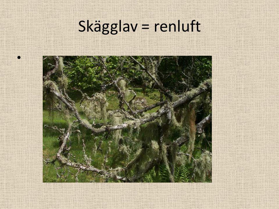 Skägglav = renluft