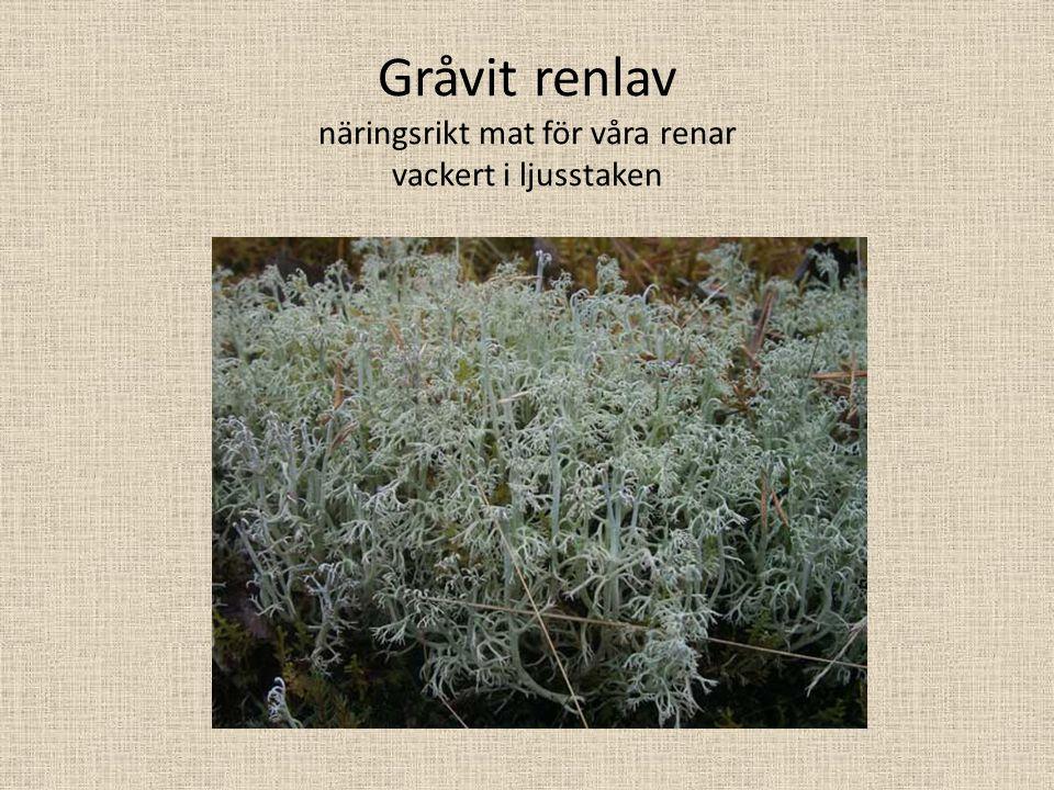 Blåslav Lavar förs numer till riket svampar.