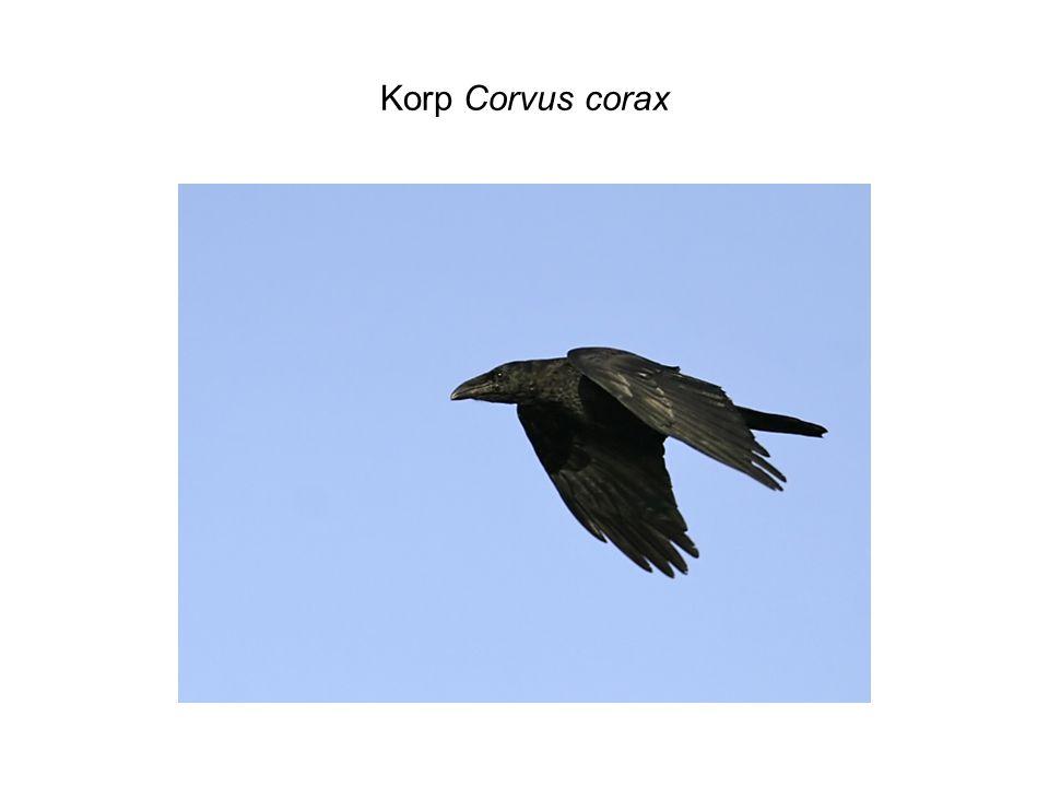 Korp Corvus corax