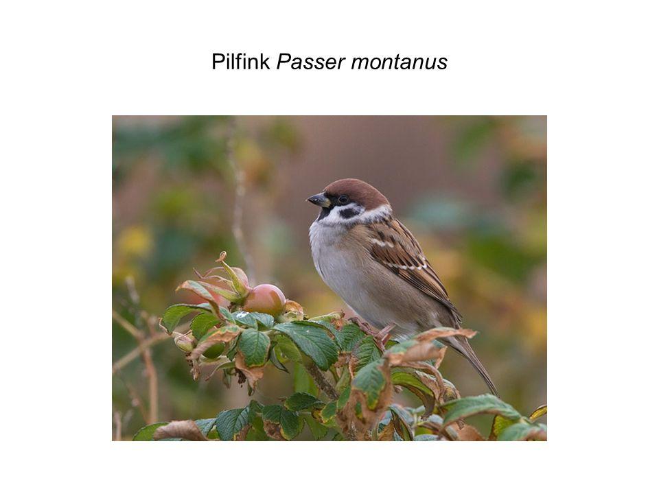 Pilfink Passer montanus