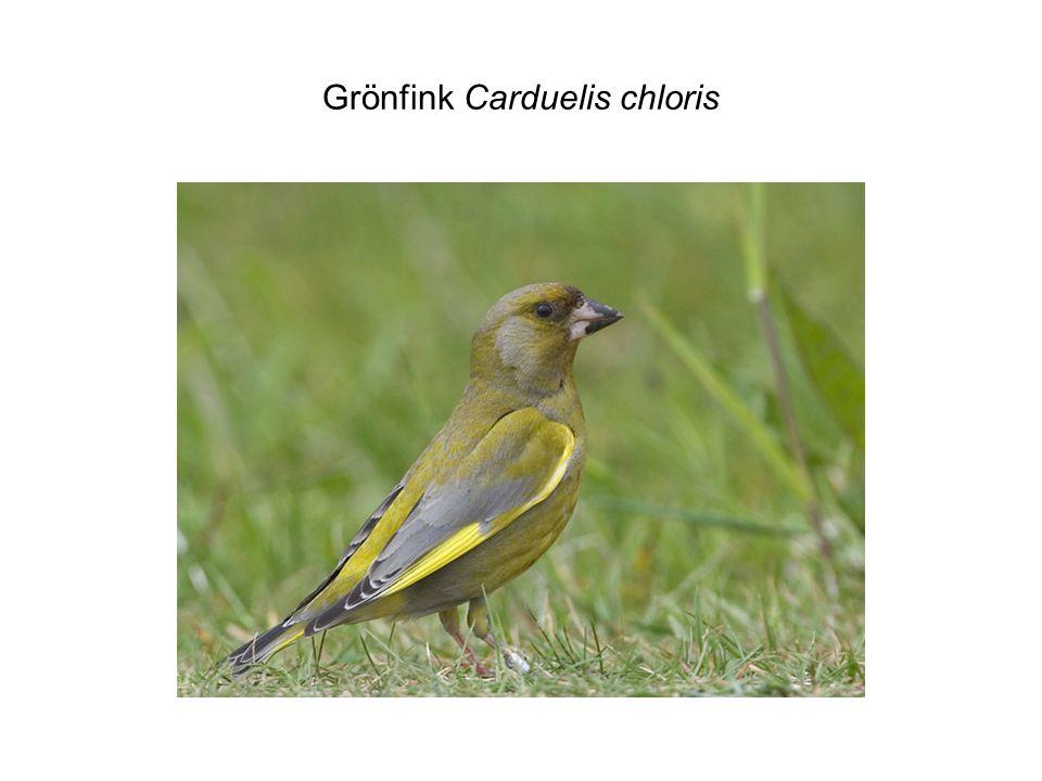 Grönfink Carduelis chloris