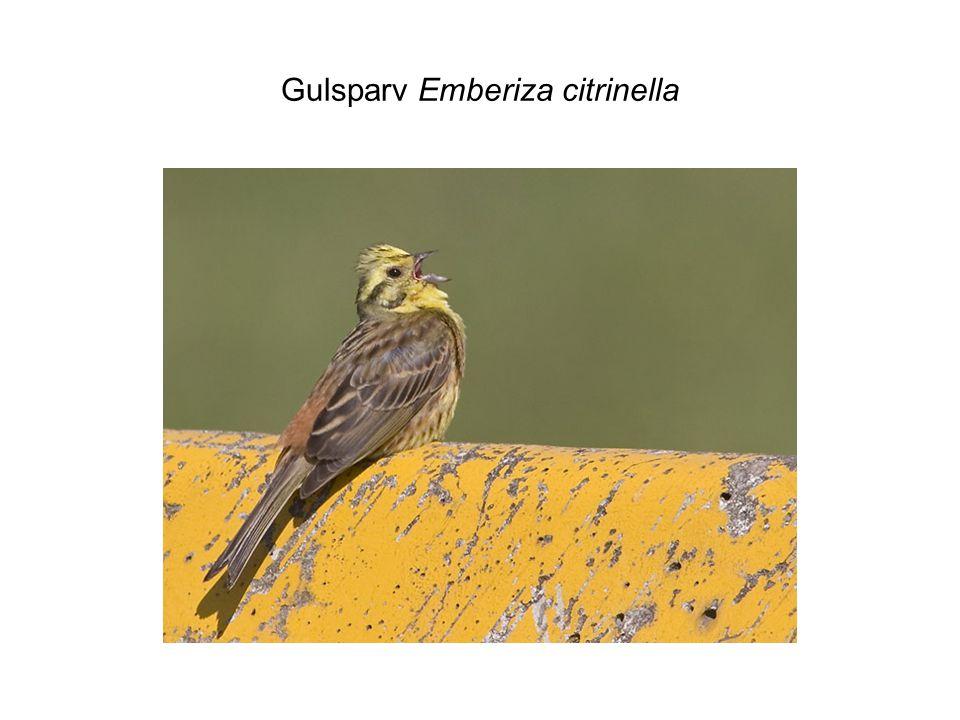 Gulsparv Emberiza citrinella