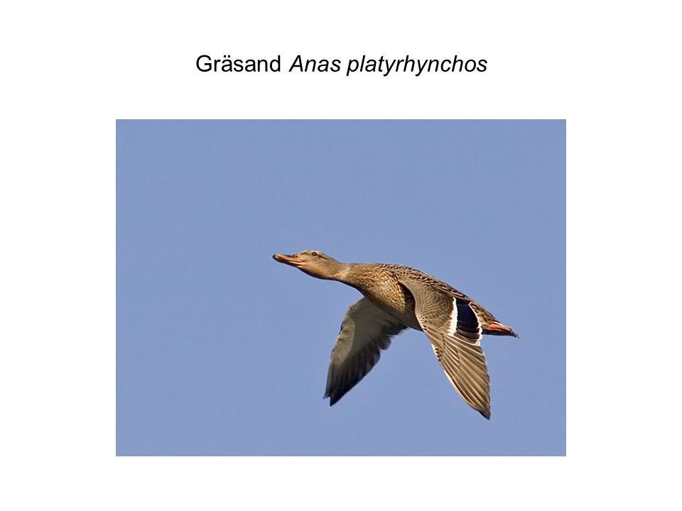 Gräsand Anas platyrhynchos