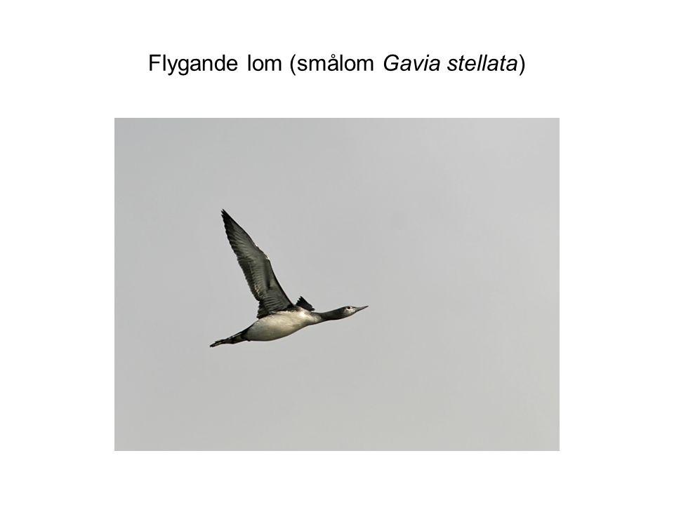 Flygande lom (smålom Gavia stellata)