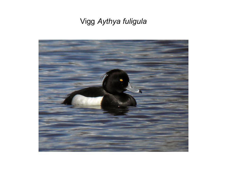 Vigg Aythya fuligula