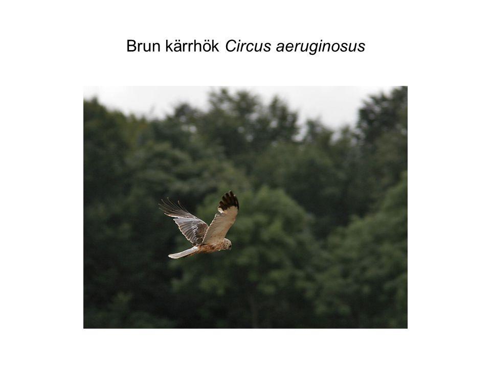 Brun kärrhök Circus aeruginosus