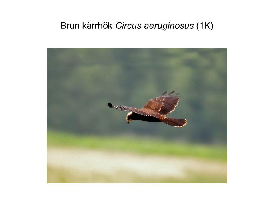 Brun kärrhök Circus aeruginosus (1K)