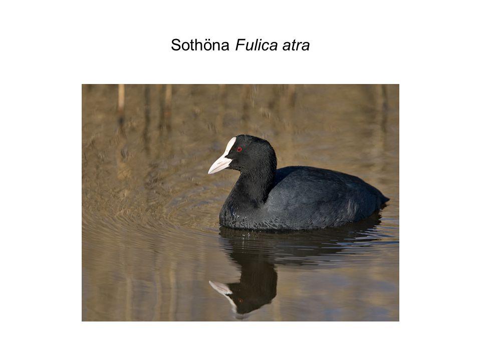 Sothöna Fulica atra