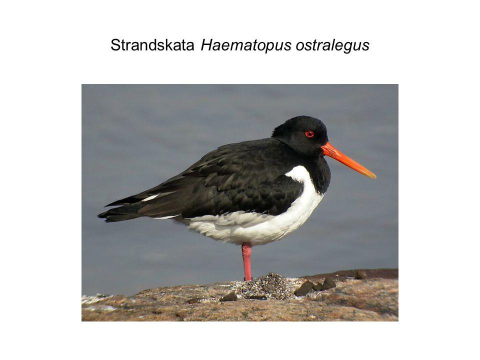 Strandskata Haematopus ostralegus