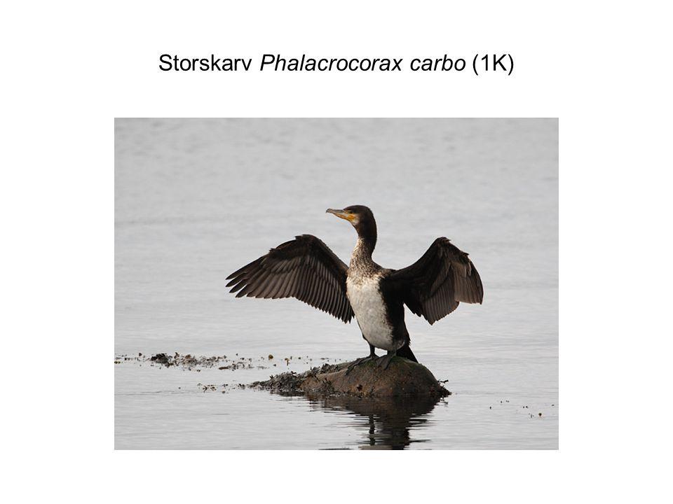 Storskarv Phalacrocorax carbo (ad häckande)
