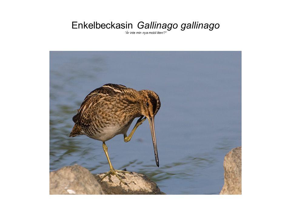 "Enkelbeckasin Gallinago gallinago ""Är inte min nya mobil liten!?"""