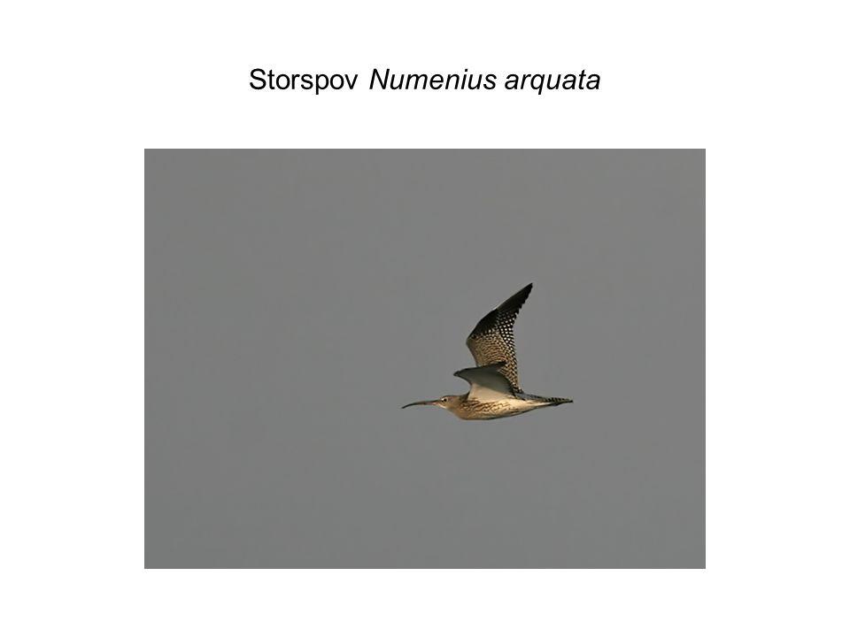 Storspov Numenius arquata