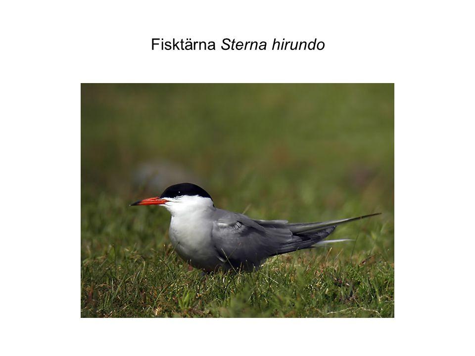 Fisktärna Sterna hirundo