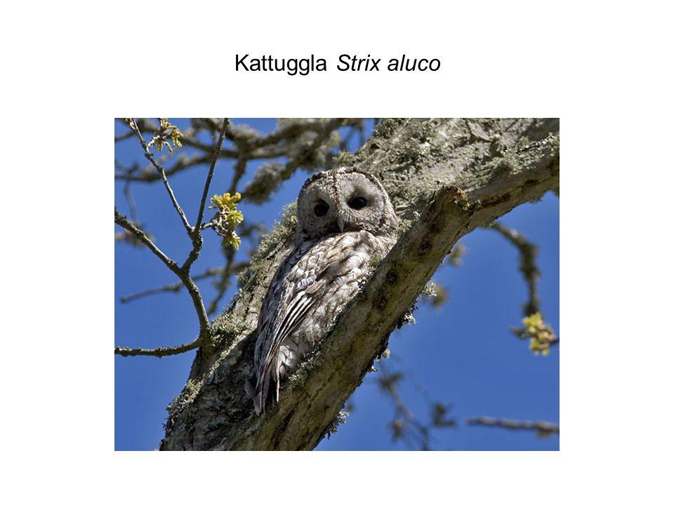 Kattuggla Strix aluco