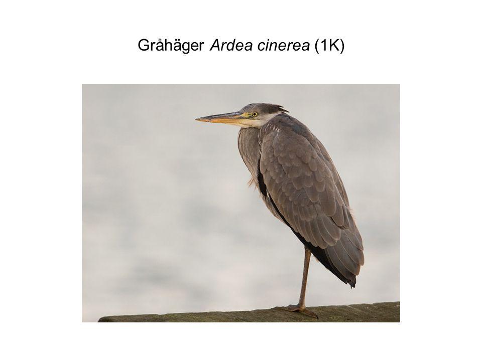 Gråhäger Ardea cinerea