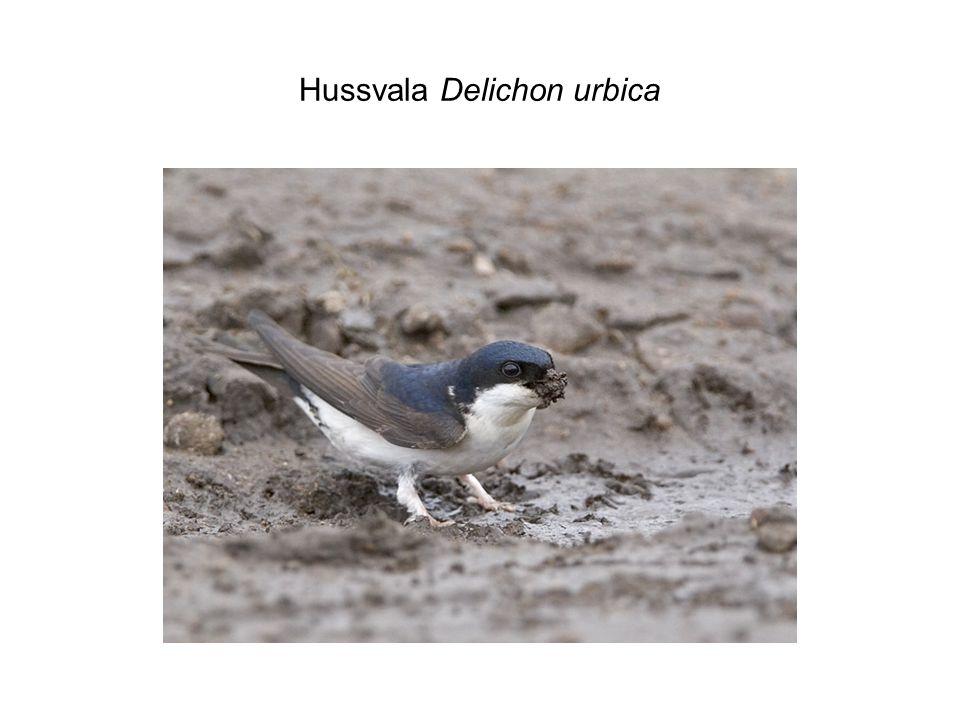 Hussvala Delichon urbica
