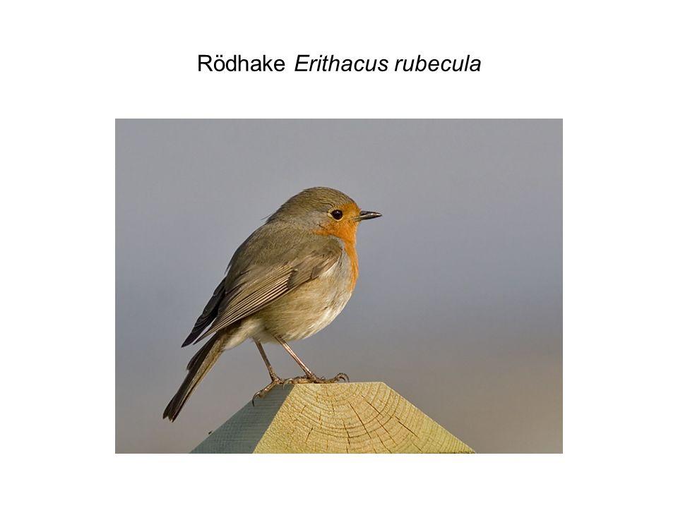 Rödhake Erithacus rubecula