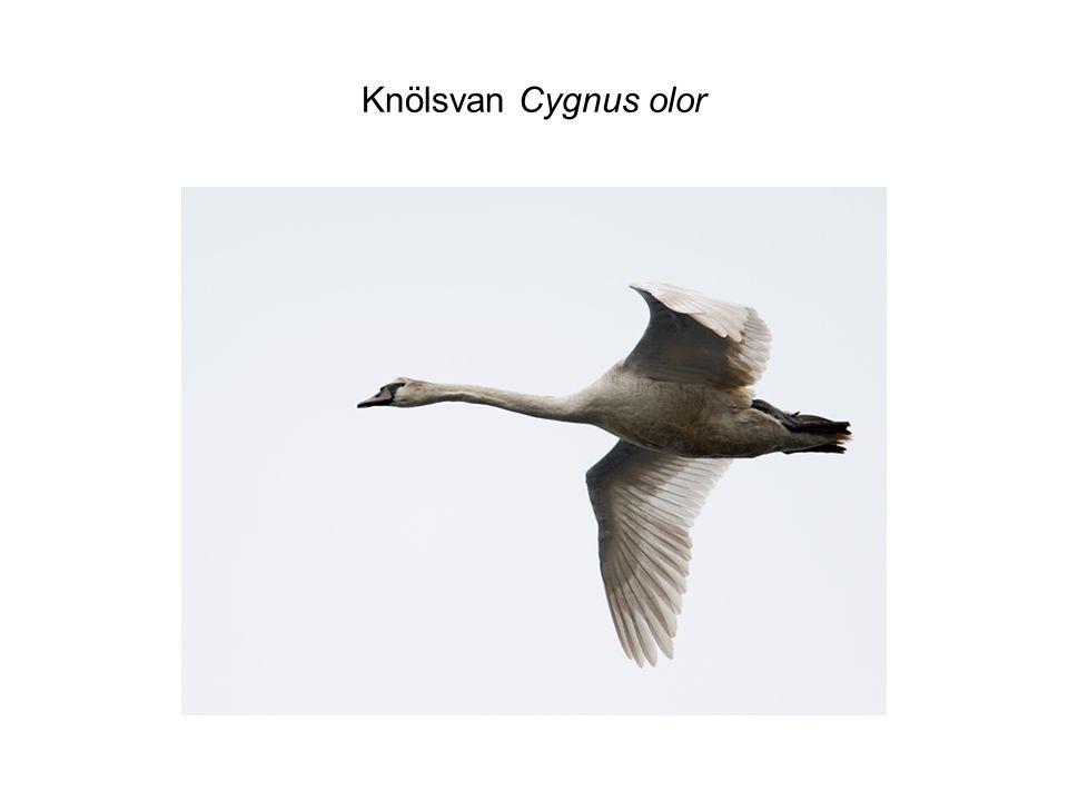 Sångsvan Cygnus cygnus