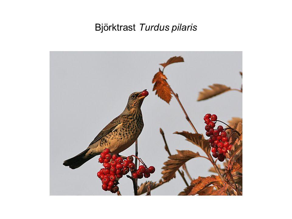 Björktrast Turdus pilaris
