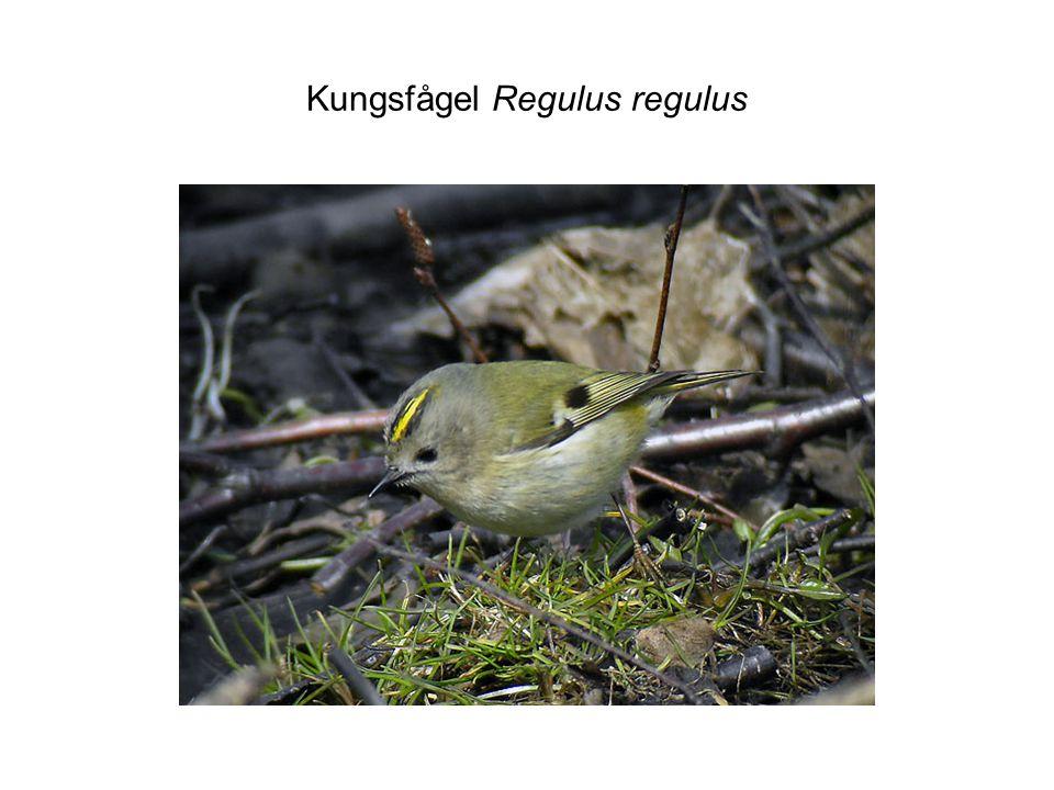 Kungsfågel Regulus regulus