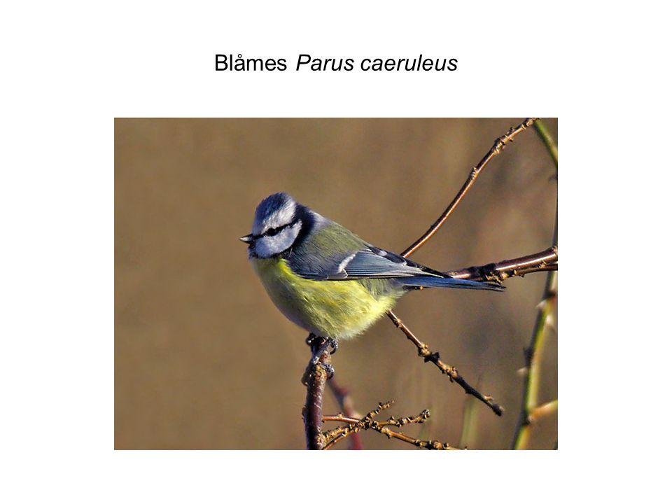 Blåmes Parus caeruleus
