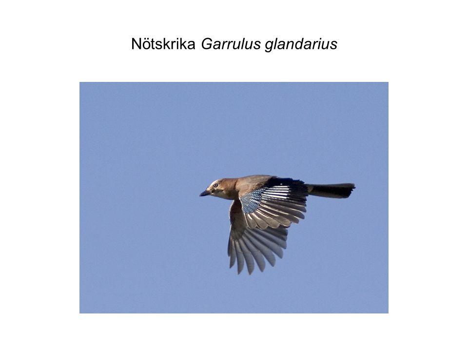 Nötskrika Garrulus glandarius