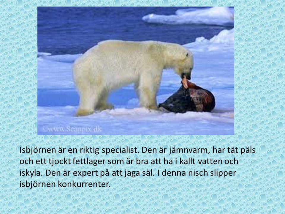 Isbjörnen är en riktig specialist. Den är jämnvarm, har tät päls och ett tjockt fettlager som är bra att ha i kallt vatten och iskyla. Den är expert p